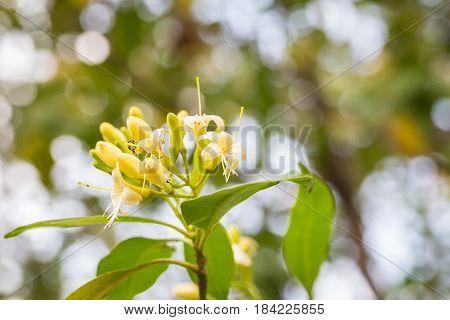 Yellow Tembusu Flowers Bloomig., Fagraea Fragrans