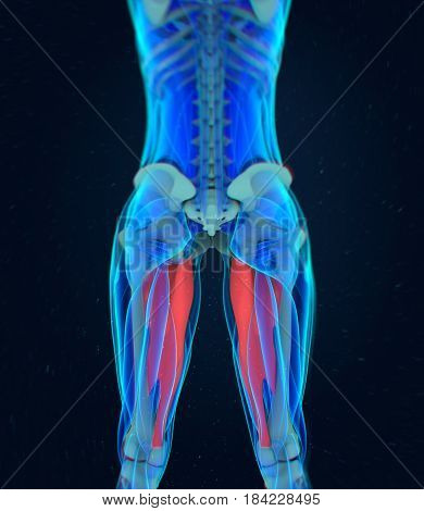Adductor magnus. Female muscle anatomy. Leg muscles. 3d illustration