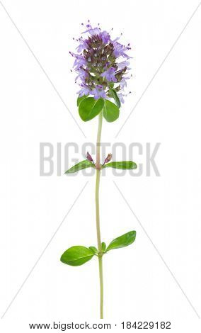 Blooming Wild Thyme (Thymus serpyllum) isolated on white background