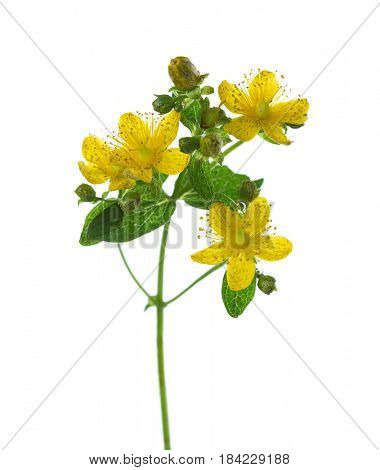 Close-up on flowers of Saint John's wort (Hypericum perforatum),  isolated on white background. lateral view