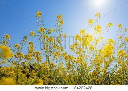 View of vivid yellow canola flower with sunshine flare and blue sky in summer Switzerland.