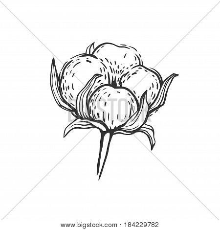Beautiful hand drawn cotton flower isolated on white. Vector illustration of a cotton ball, free hand sketch.