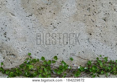 Stone wall with green creeper plant at the bottom with copy space.