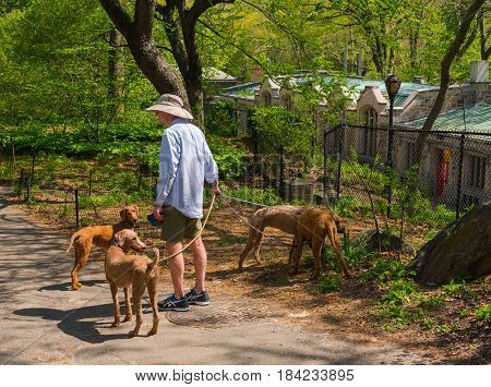 New York NY USA -- April 28 2017 -- A dogwalker minds his four dogs as they go for a walk in New York's Central Park . Editorial Use Only.