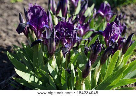 Blue iris blossoms beautifully. Iris flowers bloom densely.
