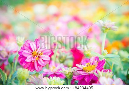 pink floral in garden flower zinnia elegans color nature background