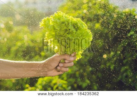 Bunch Of Lettuce In A Hand Of A Man With A Splashes Of Water In Air