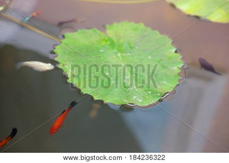 Young Guppy in the pond, top view