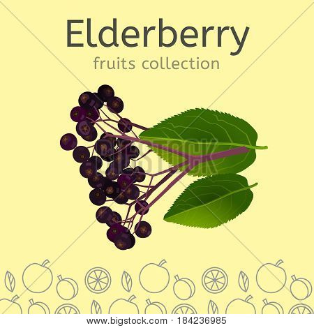 Elderberry on a light background. Fruits collection. Vector illustration.