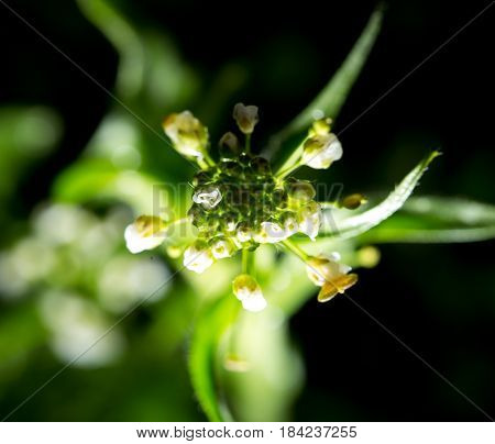 Small white flower on a black background .
