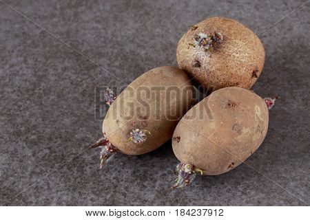 The potatoes with sprouts on a gray background