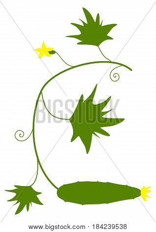 Cucumber. Vector illustration. Branch with vegetable inflorescence and leaves
