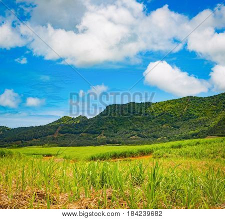 View of a sugarcane and mountains. Mauritius island. Panorama