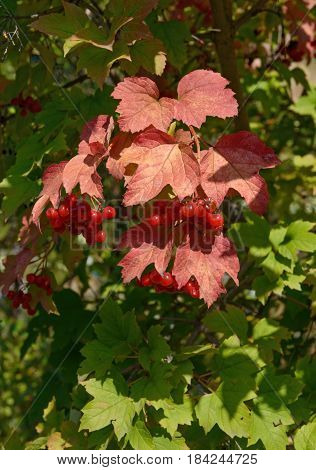 Viburnum Red Leaves And Drupes On Green Background.