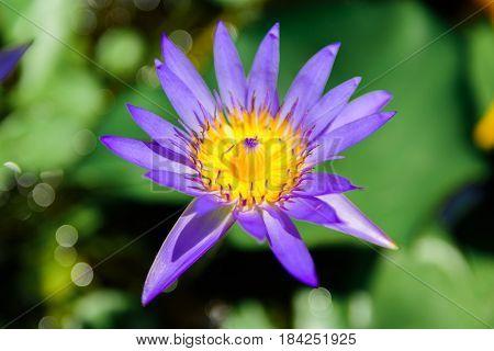 Lotus Of Thailand