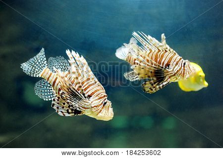 Two lionfish pterois volitans - tropical dangerous poisonous fish