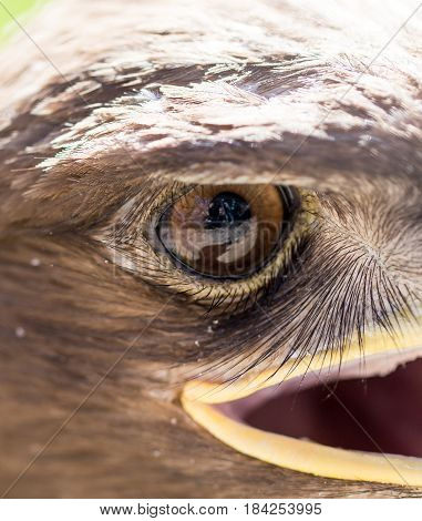 The eye of an eagle in nature. macro