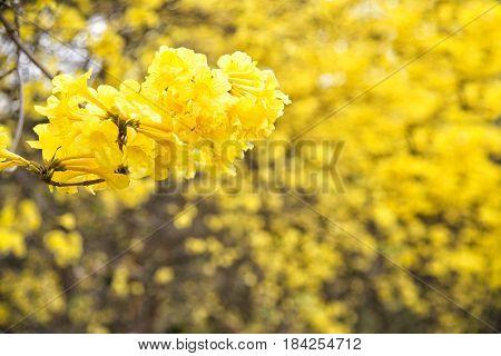 Yellow flower Tabebuia chrysantha NicholsTallow PuiGolden tree