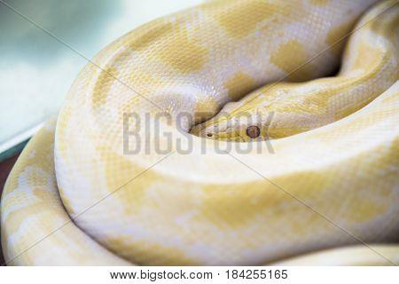 Albino burmese python ( Golden Thai python) Gold PythonReticulated python (Python reticulatus)