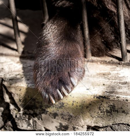 Paw of a bear behind a metal fence at the zoo .