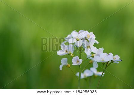 Spring Cuckooflower (Cardamine pratensis or lady's smock) against soft green background