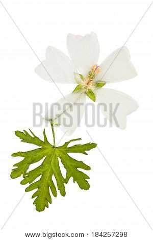 Pressed and dried flower mallow musk (malva musk) with green carved leaf isolated on white background. For use in scrapbooking floristry (oshibana) or herbarium.