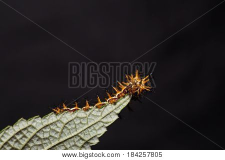 Yellow Coster (acraea Issoria) Caterpillar