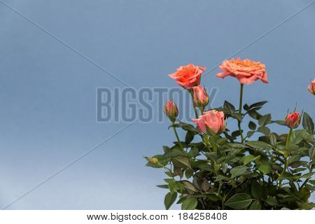 beautiful rose in white pot on a blue background