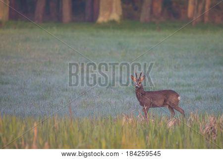 Single Roebuck Grazes During The Foggy Morning