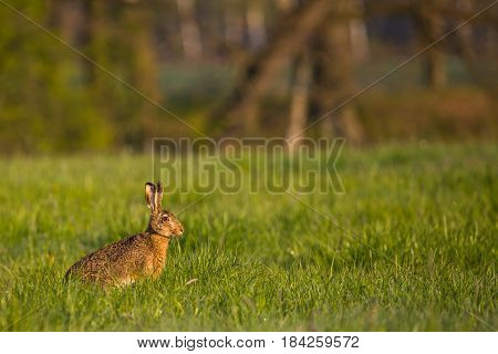 Single Wild Hare With Big Ears Sits On Green Meadow
