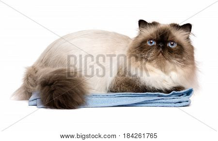 Cute groomed persian seal colourpoint cat after bath is lying on a blue towel - isolated on white background