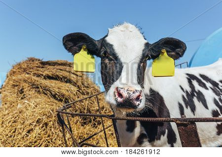 Young black and white calf looks at the camera in the background of a haystack, cattle breeding concept