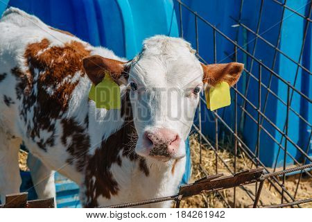 Young cute white brown calf looks at camera on a farm for breeding cattle