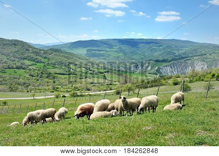 Sheep in nature grazing on a green hill meadow
