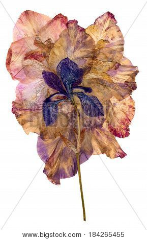 Multicolored Applique Of Dried Pressed Iris Flowers