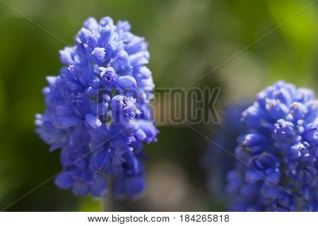 Blue flowers Muscari or murine hyacinth buds and leaves. Viper bow