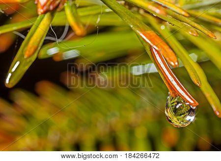 Water droplets on fir needles after rain