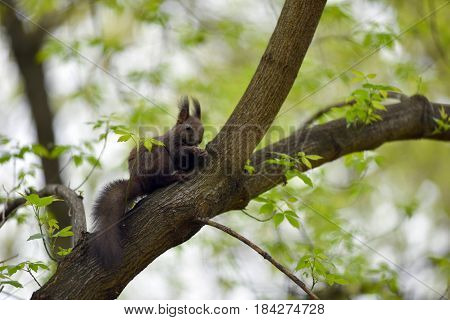 Cute Squirrel (sciurus Vulgaris) On A Tree Branch