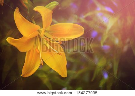 Lily flower. Spring solar background, photo wall paper. Soft focus, toning