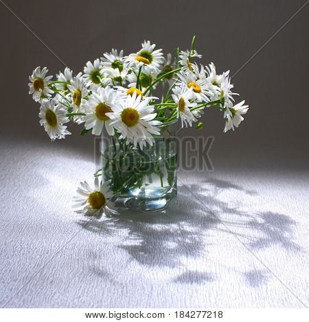 Bouquet of daisies on a gray background. Backlight
