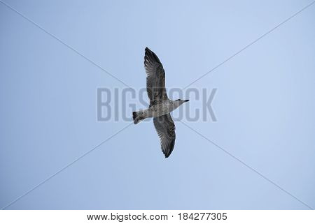 Seagull flying on clear blue sky with sunlight