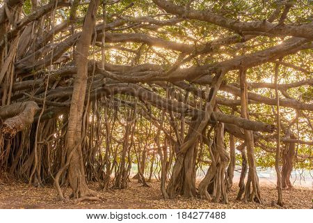 Big beautiful banyan tree