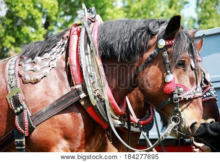 Farm horse fitted with beautiful handmade harness waiting to go to work