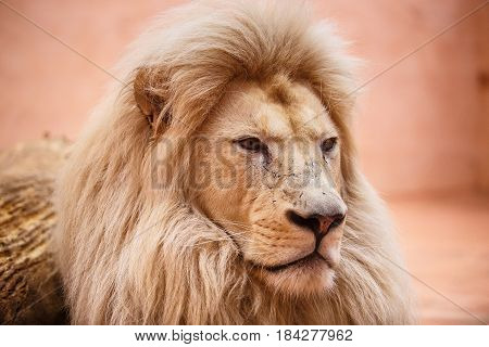 Single Lion Looking Regal Standing Proudly