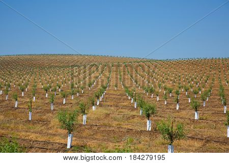 Stakes rows of trees in an agricultural field in Alentejo, Portugal
