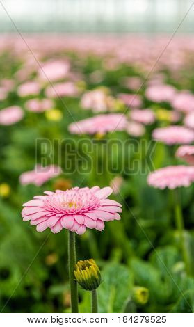 Pale pink flowering Gerbera bloom with a yellow heart in the foreground of many other budding and flowering Gerbera plants in the glasshouse of a Dutch cut flower nursery.
