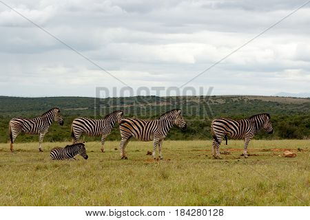 Zebras Standing In A Row Waiting For Some Water