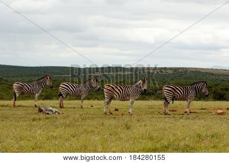 Zebras Standing And Lying Down, Waiting For Some Water
