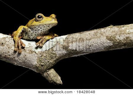tree frog hypsiboas geografica amphibians are nocturnal endangered animals need nature conservation background copy space tropical amazon Bolivia rain forest exotic jungle black background green