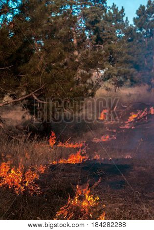 Fire in a pine forest. Natural disaster. ecological problems.